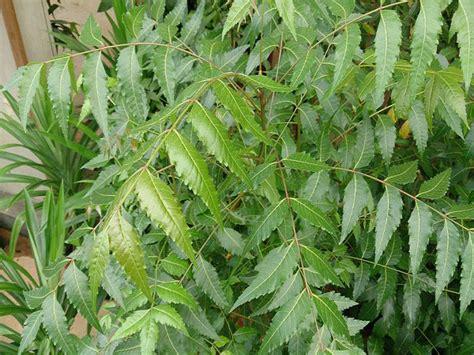 7 gardening tips for neem tree boldsky com