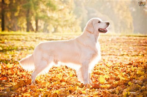 different types of golden retrievers the different types of golden retrievers photo