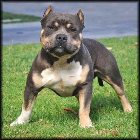 tri color pitbull puppies for sale tri color pitbull