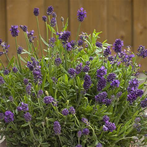 is lavender a perennial lavender seeds 9 lavenders perennial flower seeds