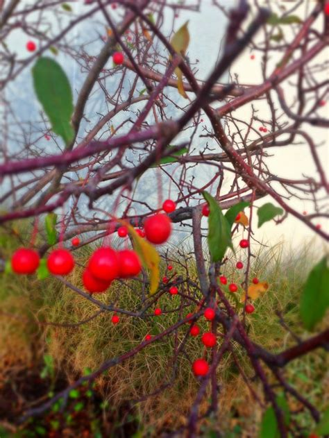 tree berries in the fall photographs pinterest