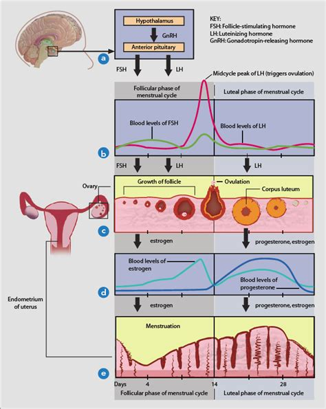 The roller coaster of female hormones – are you enjoying ... Female Period Cycle