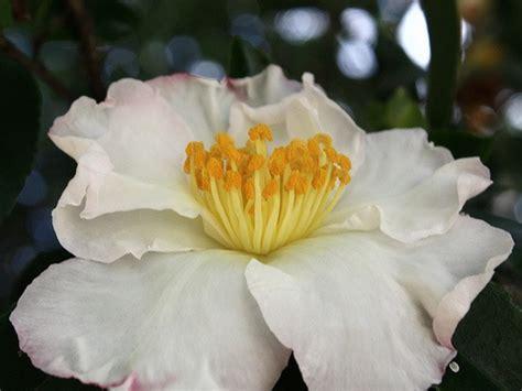 fiore invernale un fiore invernale la camelia sasanqua giardinaggio