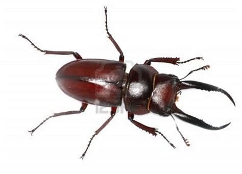 bed bugs image beetle bugs insects insects and bug