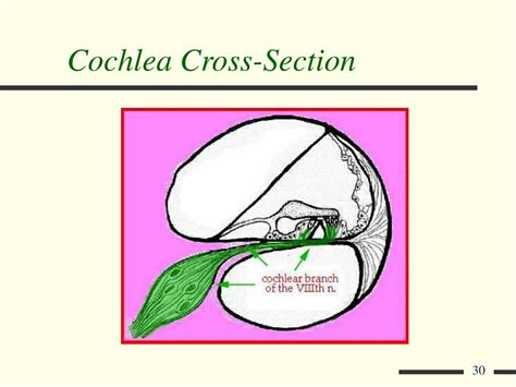 cochlea cross section ppt inner ear powerpoint presentation id 394084