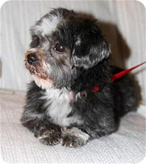 shih tzu puppies for adoption in nj wayne nj shih tzu mix meet pepper a for adoption