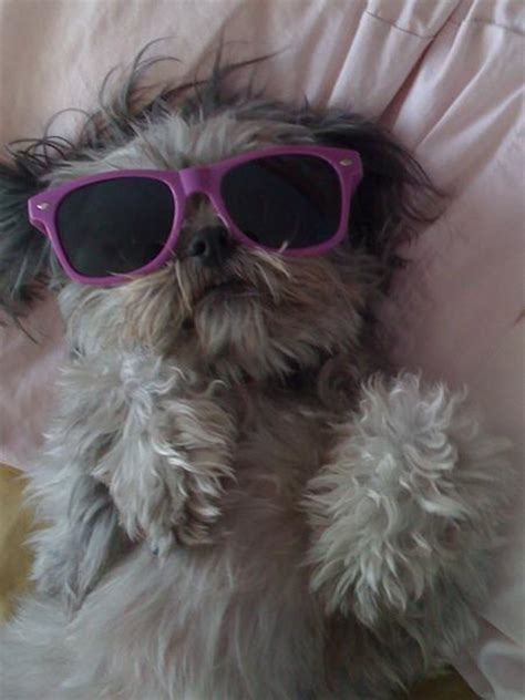 shih tzu personality temperament bichon shih tzu temperament pictures to pin on pinsdaddy