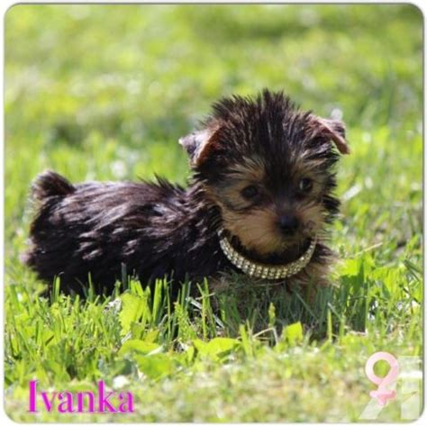 yorkie breeders ma teacup yorkie terrier puppies for sale in natick massachusetts