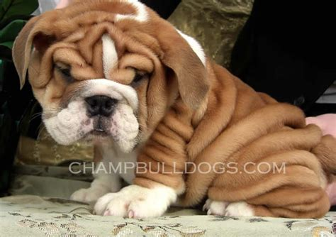 bulldog puppies bulldog puppies the makes