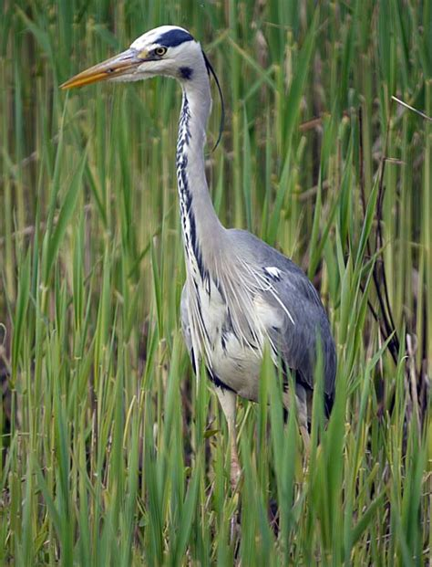 grey heron berksbirds co uk