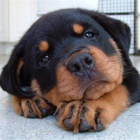 rottweiler puppies 25 best ideas about rottweiler puppies on