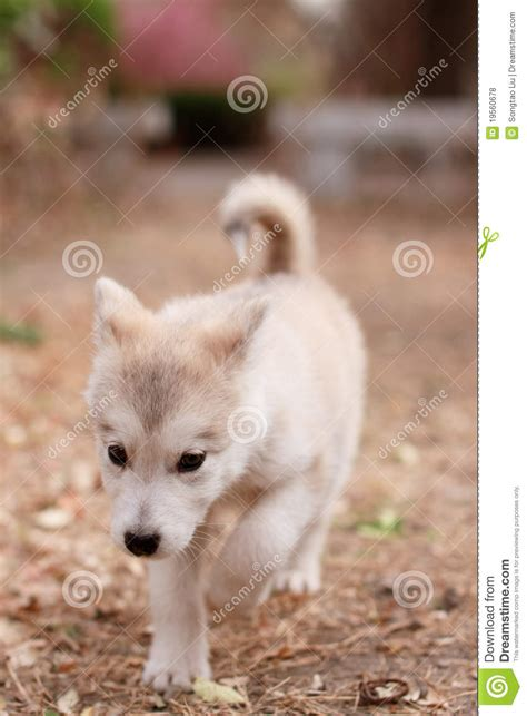alaska puppies alaska puppies royalty free stock photos image 19560678
