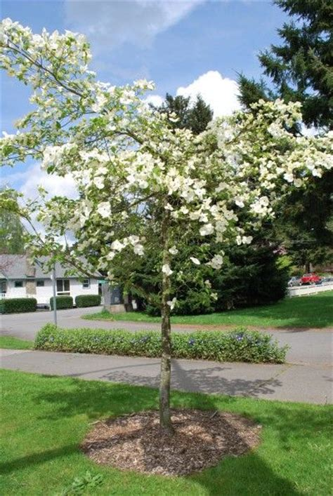 transplanting dogwoods when and how to transplant a dogwood tree trees dogwood trees and tips