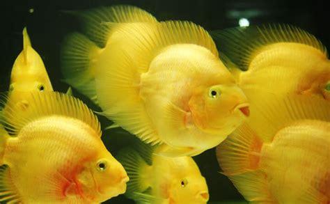 Pewarna Parrot semua tentang ikan parrot ferboes