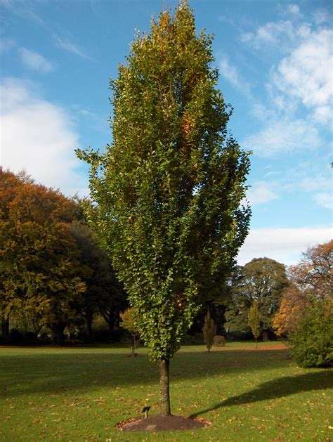 fagus sylvatica fagus sylvatica dawyck gold columnar beech larc 316 trees and shrubs