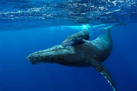 imagenes reales de ballenas como nacen las ballenas donde viven como nacen