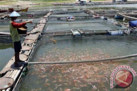 Bibit Ikan Nila Larasati penjual bibit ikan nila larasati bibitikan net