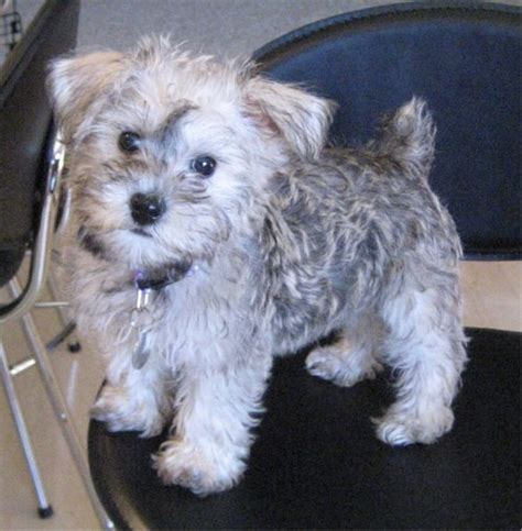 schnauzer doodle puppies for sale schnoodle breed