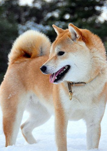 Shiba Inu Also Search For 28 Best Images About Ainu On Japanese Spitz And Image Search