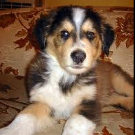 golden retriever st bernard mix 17 best images about to on the golden golden and
