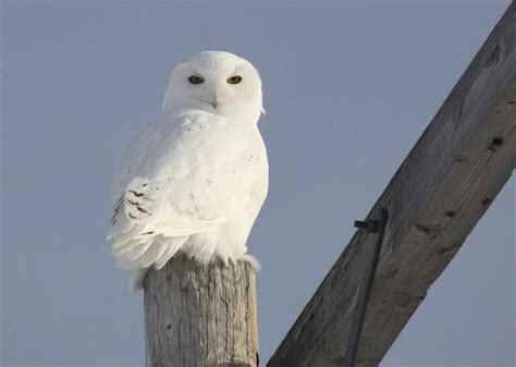 read this if you are wondering how long snowy owls live
