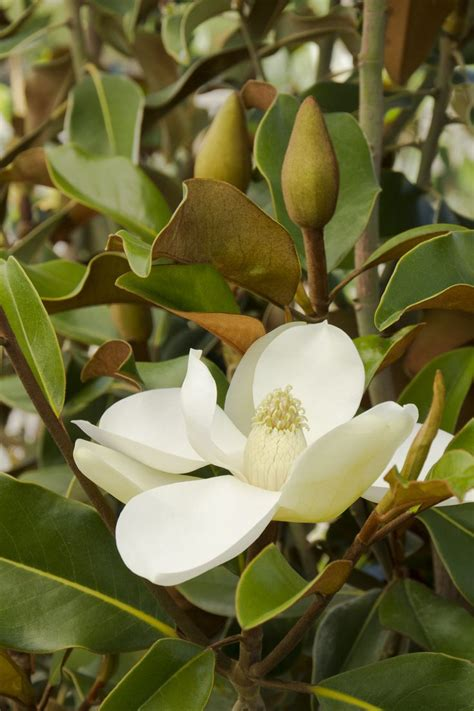 best 25 magnolia trees ideas on pinterest trees to plant landscaping trees and small