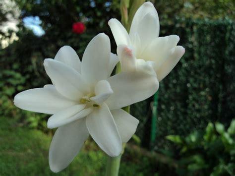 imagenes de flores nardos venta de bulbos de primavera hedychium nardos gloriosa