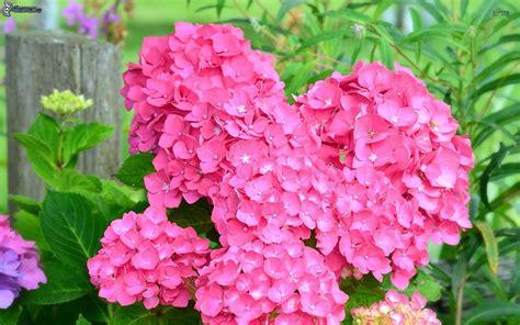 fiori ortensia ortensia
