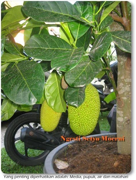 menanam nangka dalam pot bisa berbuah mudah oleh ngesti setyo moerni kompasiana
