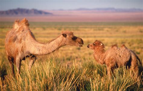 realtorpeg camels originated in america