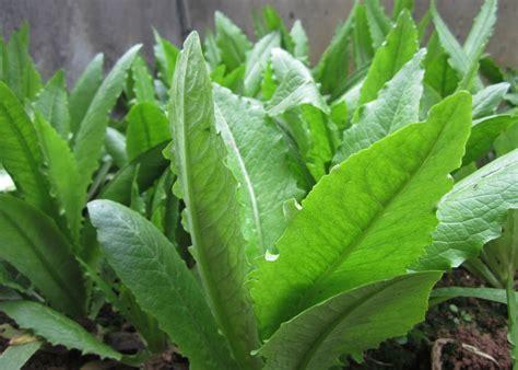 100pcs green asparagus lettuce seeds vegetable garden