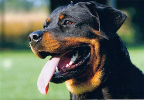 rottweiler specs rottweiler hd wallpaper animals wallpapers