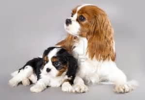 blenheim color i all animals cavalier king charles spaniel
