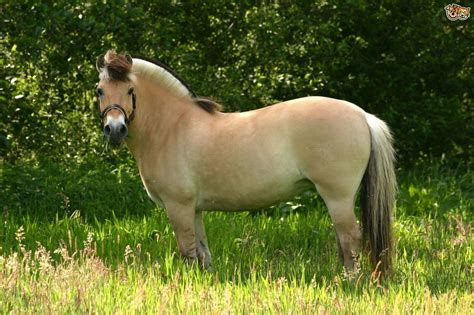 fjord paard fjord horse breed information buying advice photos and