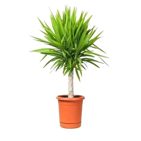 house plants uk best large indoor plants uk