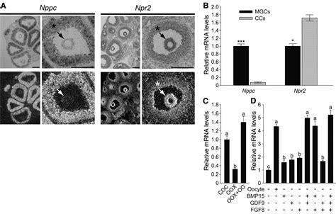 granulosa cell ligand nppc   receptor npr maintain