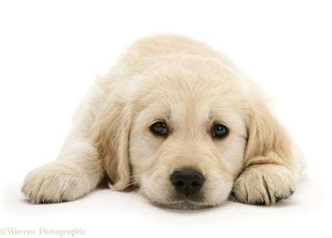 golden retriever books golden retriever puppies photos brown hairs