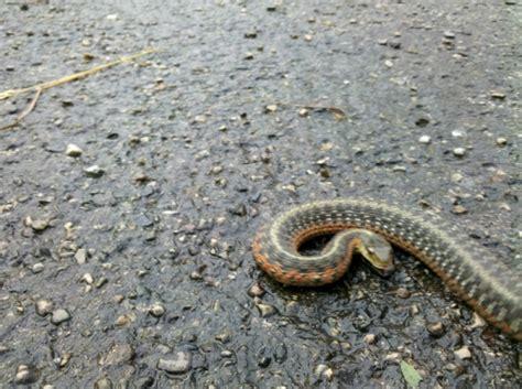 Garter Snake Forum Herping For Garter Snakes Page 4