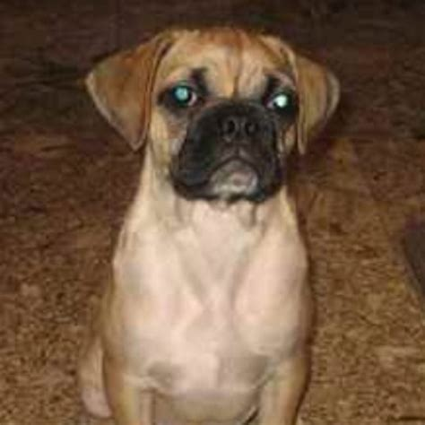 boxer pug poxer pup boxer pug mix omg looks just like animals