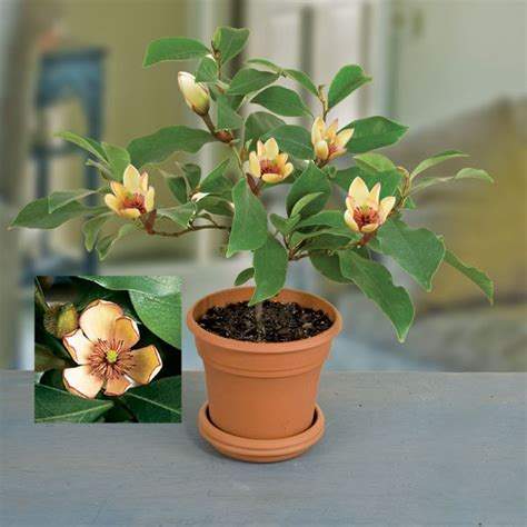 unusual houseplants banana shrub michelia figo