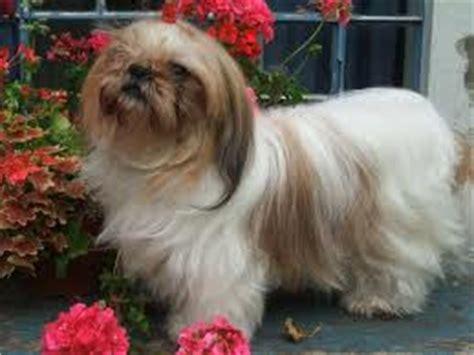 perros miniatura shih tzu de perros miniaturas el shih tzu cuidados pelo y mantenimiento en general