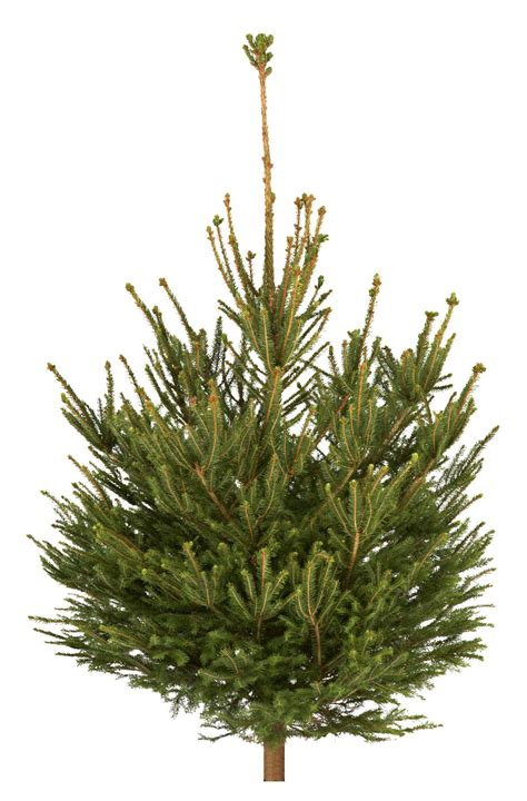 real christmas trees bq small spruce real tree departments diy at b q