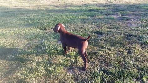pudelpointer puppies for sale 2017 black pudelpointer breeds picture
