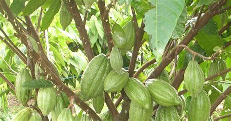 Bibit Kakao bibit ungggul berbagi untuk negeri kakao
