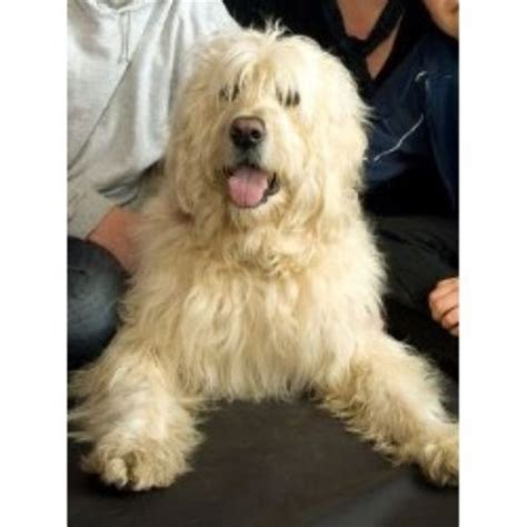 goldendoodle kennel club goldendoodle studs in scotland wales and