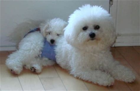 bichon frise puppies for sale near me puppies for adoption free puppies for adoption puppy adoption pets world