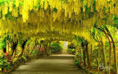 Bodnant Garden Laburnum Arch Laburnum Arch Bodnant Garden Wales Pixdaus