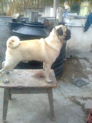 pug puppies for sale in bangalore indads in images frompo 1