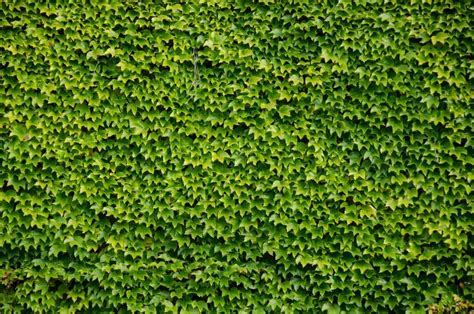 Efeu Wand by Green Wall Background Of Boston Stock Photo Colourbox