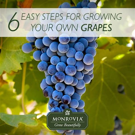 Grow Your Own Grape Vines by 127 Best Edible Plants Images On Vegetable